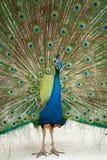 Een Pauw met zijn open veren Royalty-vrije Stock Foto