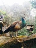 Een Pauwtentoongesteld voorwerp in Taman Safari Indonesia stock afbeelding