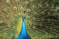 Een pauwvogel in Santa Cruz royalty-vrije stock afbeelding