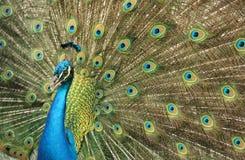 Een pauwvogel in Santa Cruz royalty-vrije stock afbeeldingen