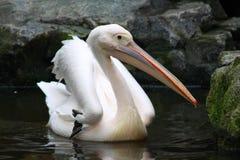 Een pelikaan Stock Fotografie