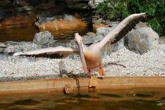 Een pelikaan die in een Pool stapt stock afbeelding