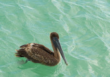 Een pelikaan met een vissenhaak daarin is vleugel royalty-vrije stock afbeeldingen