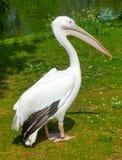 Een pelikaan ontspant bij het park onder de zon Stock Afbeelding