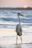 Een Pelikaan op het strand bij zonsopgang Royalty-vrije Stock Foto's