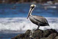 Een pelikaan op een rots wordt neergestreken die Royalty-vrije Stock Foto's