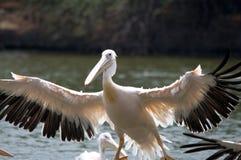 Een pelikaan tijdens de vlucht Stock Foto