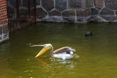 Een pelikaan vangt vissen en een overzeese kat let op hem royalty-vrije stock foto