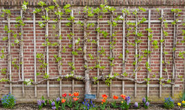 Een perenboom espaliered in een kordon Royalty-vrije Stock Fotografie