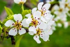 Een perenboom met witte bloemen, de heldere lente day_ Stock Foto