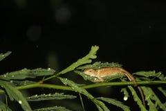 Een perfecte klik van kameleon in regen bij nacht royalty-vrije stock fotografie