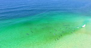Een peul van dolfijnen die in de brandings berijdende golven spelen stock footage