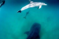 Een peul van dolfijnen die een walvishaai in duidelijk, blauw water begeleiden stock afbeeldingen