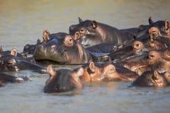 Een peul van Hippo bij zonsondergang Stock Foto