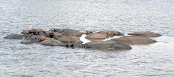 Een peul van Hippos in een rivier Royalty-vrije Stock Afbeelding