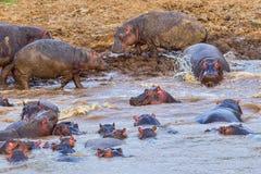 Een peul van Nijlpaarden Royalty-vrije Stock Afbeeldingen