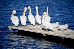 Een Peul van Pelikanen op een dok royalty-vrije stock foto's