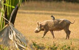 Een Piapiac die op een varken berijdt Stock Afbeeldingen