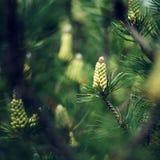 Een pijnboom Stock Fotografie