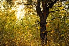 Een pijnboom in het midden van berken Stock Foto