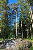 Een pijnboomboom die op een rotsachtig gedeelte van het land is gegroeid stock foto