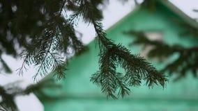 Een pijnboomtak die in de wind slingeren stock videobeelden