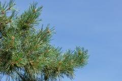 Een pijnboomtak met groene kegels tegen de blauwe hemel in het park stock foto