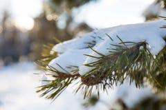 Een pijnboomtak met witte sneeuw die, dichte omhooggaand wordt behandeld royalty-vrije stock afbeeldingen