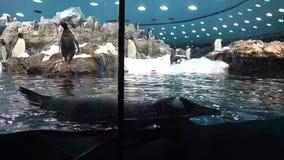 Een pinguïn zwom bij het watertank van de Dierentuinpinguïn stock video