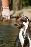 Een pinguin wordt gevoed Stock Afbeeldingen