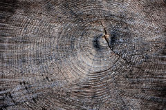 Een plak van oude droge pijnboom Stock Foto