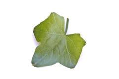 Een plantaardig blad van de Pompoen van de Klimop Royalty-vrije Stock Afbeelding