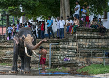Een plechtige olifant wordt gewassen door zijn mahout bij de Tempel van het Heilige Tandoverblijfsel comlex in Kandy, Sri Lanka Royalty-vrije Stock Afbeeldingen