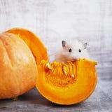 Een pluizige hamster royalty-vrije stock fotografie