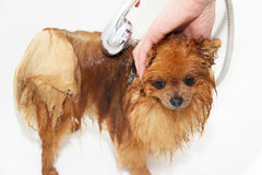 Een pomeranian hond die een douche met zeep en water nemen Hond op witte achtergrond Hond in bad Royalty-vrije Stock Foto's