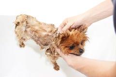 Een pomeranian hond die een douche met zeep en water nemen Hond op witte achtergrond Hond in bad Stock Foto's