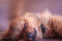 Een pomeranian puppy isloated zeer leuk en zoet het kijken terwijl hij slaapt stock foto