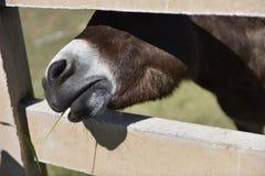 Een poney die lunch van tijd met een het glimlachen gezicht in een landbouwbedrijf op een aardige dag genieten Stock Afbeeldingen