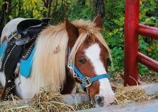 Een poney voor haar verjaardag Royalty-vrije Stock Afbeeldingen