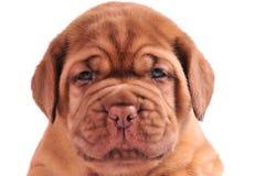 Een portret van 1 maand oud puppy Royalty-vrije Stock Fotografie