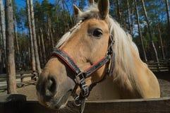 Een portret van aardig paard Stock Fotografie