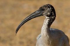 Een portret van een Afrikaanse heilige ibis Stock Foto