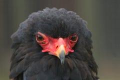Een portret van Bateleur Eagle Stock Foto's