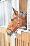 Een portret van bruin paard in schuur Royalty-vrije Stock Fotografie