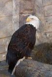 Een portret van een Amerikaanse adelaar bij een dierentuin royalty-vrije stock fotografie