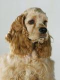 Een portret van een cocker-spaniël Stock Afbeeldingen