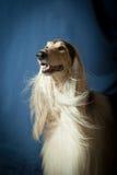 Een portret van een mannelijke Afghaanse hond Royalty-vrije Stock Afbeeldingen