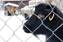 Zwarte Geit Stock Foto's