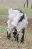 Een portret van geitjong geitje Royalty-vrije Stock Afbeelding