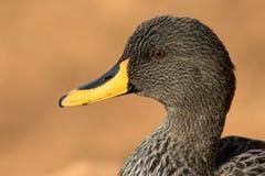 Een portret van een gele gefactureerde die eend in Zuid-Afrika wordt gefotografeerd Stock Afbeelding